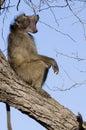 Chacma狒狒 狒狒ursinus 免版税库存图片
