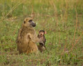 Chacma Baboon baby and leaf Stock Photos