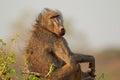 Chacma baboon big male papio hamadryas ursinus kruger national park south africa Stock Image