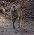 Chacma baboon a in botswana s chobe national park Royalty Free Stock Photos