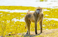 Chacma baboon or cape in botswana s chobe national park in africa Royalty Free Stock Photo