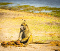 Chacma baboon or cape in botswana s chobe national park in africa Stock Photos