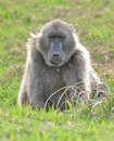 Chacma Baboon at cape point, south africa Stock Image