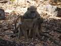 Chacma baboon with infant baboons papio ursinus in zambia Stock Photos