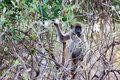 Chacma baboon papio anubis nambwa national park in namibia Stock Image