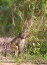 Chacma baboon (Papio cynocephalus) Stock Images