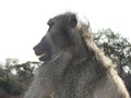 Chacma baboon papio ursinus expressions in kruger national park south africa Stock Photo