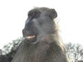 Chacma baboon papio ursinus expressions in kruger national park south africa Royalty Free Stock Photography