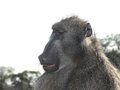 Chacma baboon papio ursinus expressions in kruger national park south africa Stock Photography