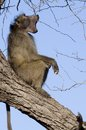 Chacma baboon papio ursinus in kruger national park south africa Royalty Free Stock Images