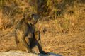 Chacma baboon papio ursinus in kruger national park south africa Stock Images