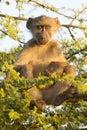 Chacma Baboon (Papio ursinus) South Africa Stock Photo