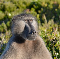 Chacma baboon portrait of an adult south africa Royalty Free Stock Images