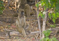 Chacma Baboon at rest Stock Photos