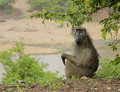 Chacma baboon sitting on river bank Stock Photography