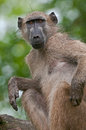A chacma baboon sitting and scratching an itch in the kruger national park south africa Royalty Free Stock Images