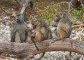 Chacma baboons Royalty Free Stock Photography