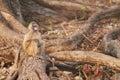 Chacma baboons Stock Image