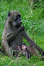 Chacma Baboons Stock Photos