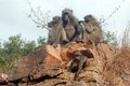 Chacma baboons papio ursinus baboon in kruger national park south africa Stock Images