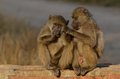 Chacma baboons papio ursinus baboon in kruger national park south africa Stock Photography