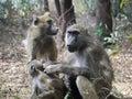 Chacma baboons papio ursinus in zambia Royalty Free Stock Photos
