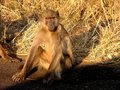 Chacma baboons posing in the morning sun Stock Image