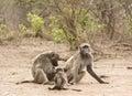 Chacma baboons in the river bank kruger bushveld kruger national park south africa delousing sunset savannah Stock Image