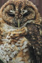 Chaco owl the detail of Royalty Free Stock Images