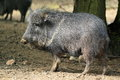 Chacoan peccary the adult in the soil Stock Photo