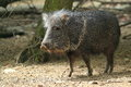 Chacoan peccary the strolling in the soil Stock Photo