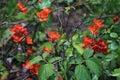 Chaenomeles japonica shrub orange flowers