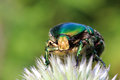 Chafer beetle on flower macro cetonia aurata Royalty Free Stock Image