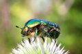 Chafer beetle on flower macro cetonia aurata Royalty Free Stock Photos