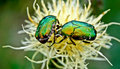 Chafer beetles graze on russian cornflower colors Stock Photography