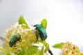 Chafer. Bug. Stock Image