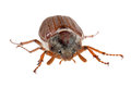 Chafer crawls forward Royalty Free Stock Photo