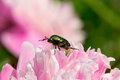 Chafer gold the photo shows the golden beetle sitting on a flower peony photo taken june Royalty Free Stock Images