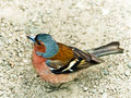 Chaffinch. Foto de Stock Royalty Free