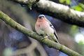 Chaffinch bird on a branch fringílla coélebs songbird of the family of finches close common in europe western asia and north Stock Photo