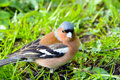 Chaffinch bird,  songbird of the Finch family. Royalty Free Stock Photo