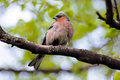 Chaffinch bird wild birds in the summer fringílla coélebs songbird of family of finches close common europe western asia and Royalty Free Stock Photos