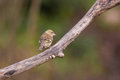 Chaffinch on branch a female fringilla coelebs perches a diagonal Stock Photos