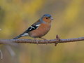 Chaffinch at calke abbey derbyshire Royalty Free Stock Photo