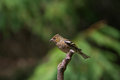 Chaffinch a female fringilla coelebs resting on a stick Royalty Free Stock Photo