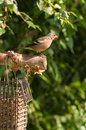 Chaffinch fringilla coelebs by feeder summer time in england Stock Photography