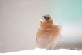 Chaffinch fringilla coelebs standing in blowing snow with seeds in its beak Stock Photo