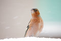 Chaffinch fringilla coelebs standing in the snow Royalty Free Stock Photos
