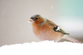 Chaffinch fringilla coelebs standing in the snow Stock Photography