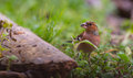 Chaffinch on ground a male fringilla coelebs feeding seeds the Royalty Free Stock Photography